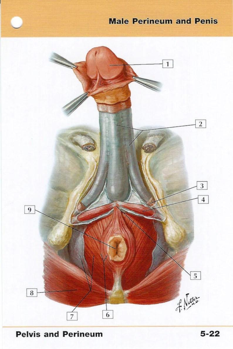 medium resolution of perineum diagram