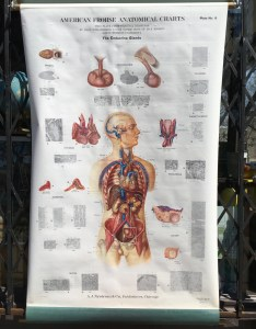 Image also vintage frohse anatomical classroom chart of the endocrine etsy rh