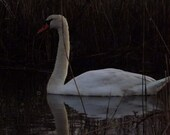 Mute swan on the water digital nature photography print, mute swan reflection, nature swan closeup, wildlife swan photo