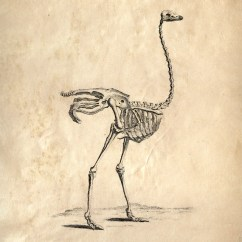 Ostrich Skeleton Diagram Air Bag Suspension Wiring Vintage Print Science Animal Study Anatomy Etsy Image 0