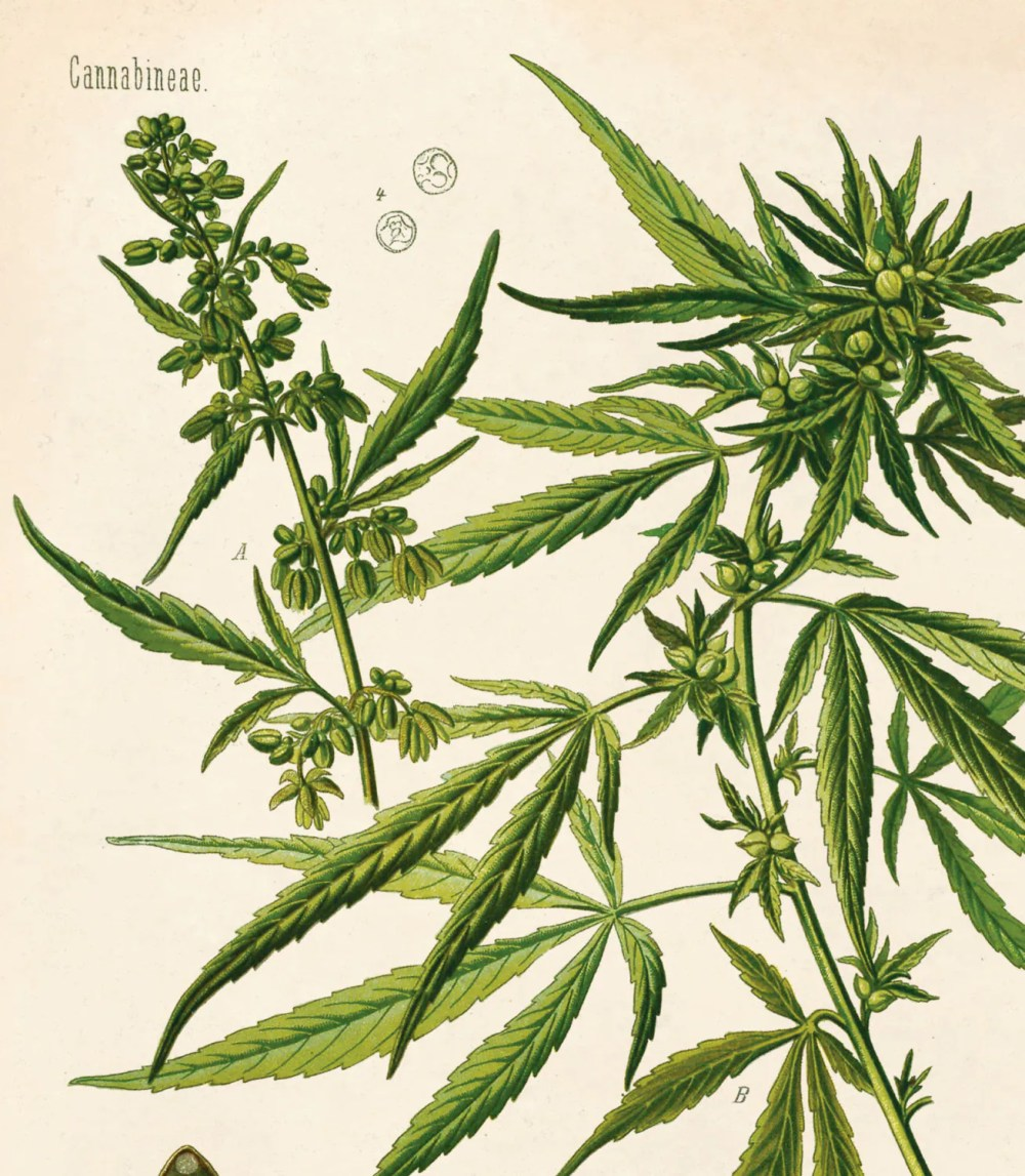 medium resolution of educational marijuana chart diagram from kohler s botanical medicinal plant guide b002p