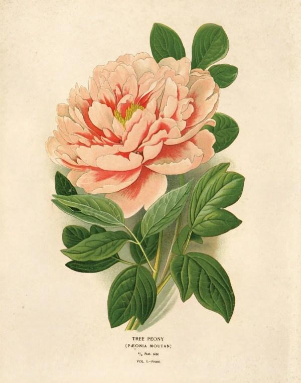 Vintage Peony Flower Print. Educational Science Plate
