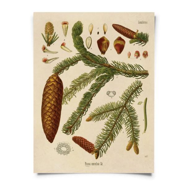 Vintage Norway Spruce Print. Botanical Tree Educational