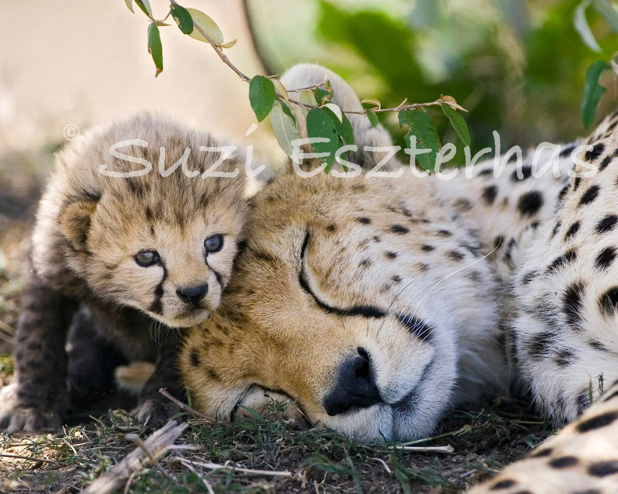 Baby Animal Photography Cheetah Baby With Mom Photo Print