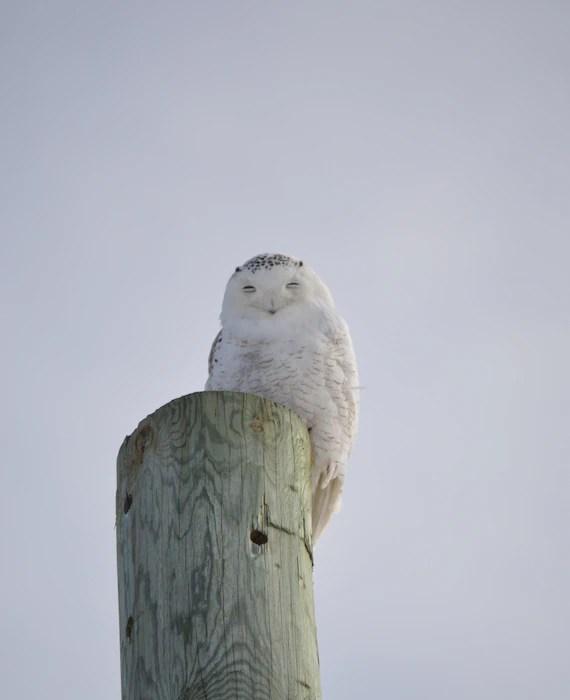 Snowy Owl Sleeping : snowy, sleeping, Snowy, Blank, Sleeping, Smiling