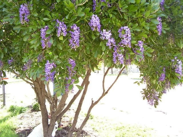 Mountain Laurel Branches For Sale