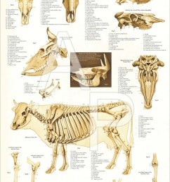 cow skeletal diagram [ 794 x 1191 Pixel ]