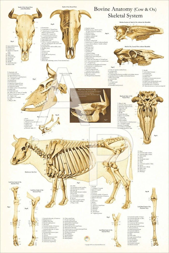 medium resolution of cow skeletal diagram