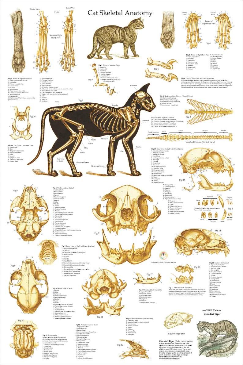 hight resolution of tiger tooth skull diagram