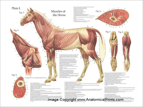 skeletal muscle labeled diagram print 69 mustang ignition wiring horse great installation of anatomy poster wall chart 18 x 24 rh etsy com model