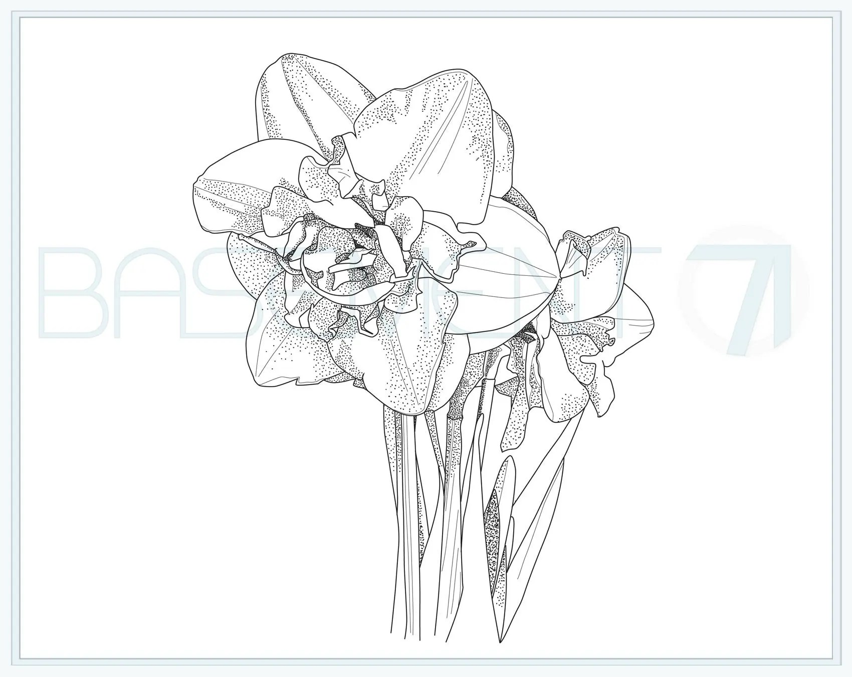 Daffodil Colouring Page Printable Flower Adult Colouring