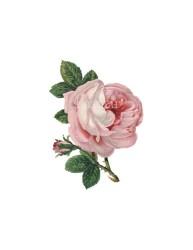 rose flower pink background print botanical clip transparent plant etsy stamp digital instant journal