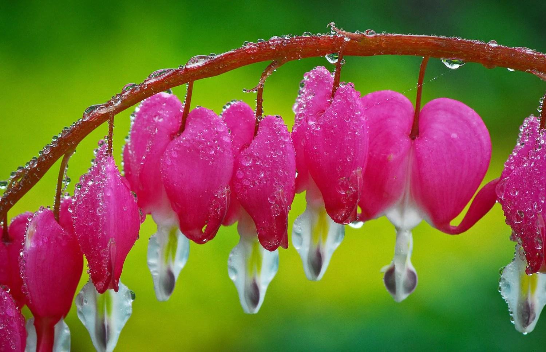 bleeding heart seeds pink