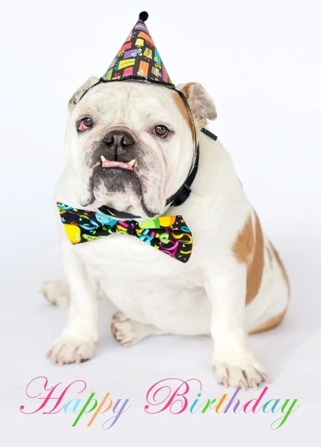 happy birthday hat and bowtie english bulldog card fine art | etsy