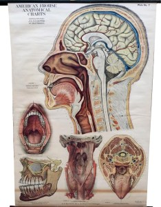 Image also vintage american frohse anatomical chart nose and throat plate etsy rh