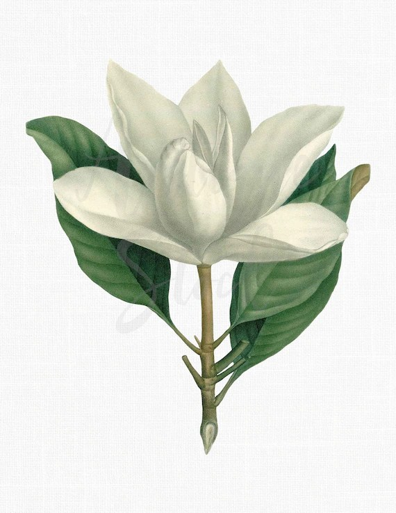 Magnolia Flower Clip Art : magnolia, flower, Flower, Southern, Magnolia, Vintage
