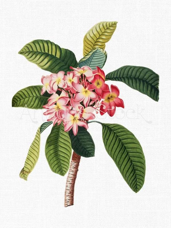 Plumeria Clipart : plumeria, clipart, Flower, Clipart, Plumeria, Rubra, Antique, Botanical