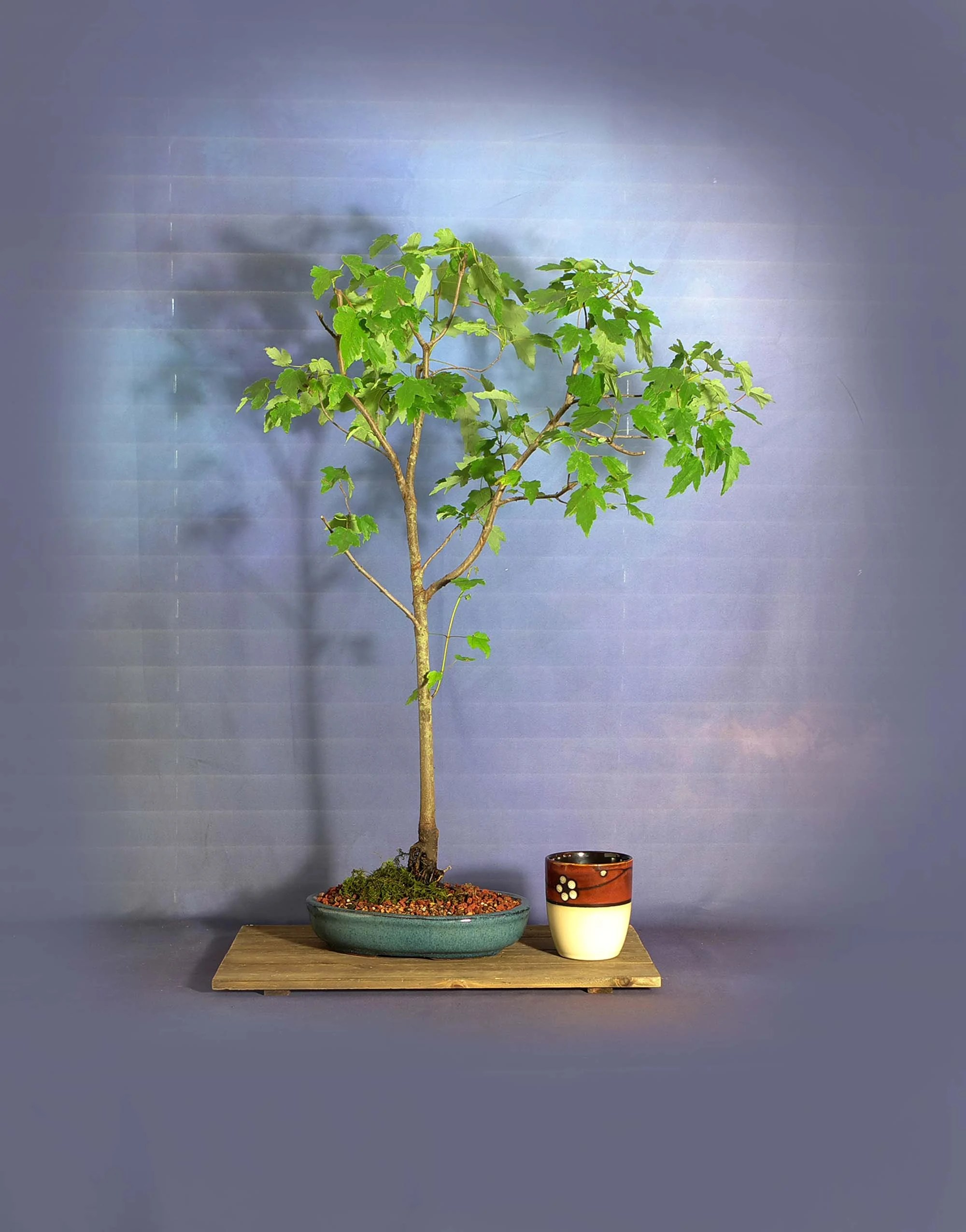Blue Maple Bonsai Tree : maple, bonsai, Maple, Bonsai, Tree,, Peaceful, Protest, Collection, LiveBonsaiTree