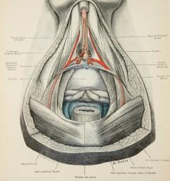 perineum diagram [ 794 x 1189 Pixel ]