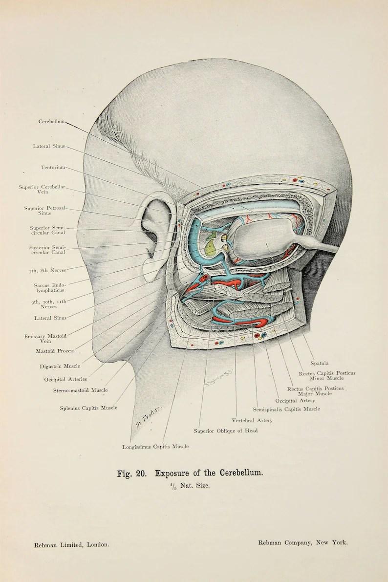 Skull Anatomy Cerebellum Ears. Hearing c.1900 DOUBLE SIDED ...