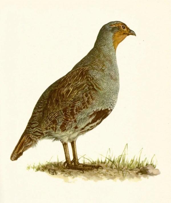 Vintage Bird Illustration Common Partridge Print