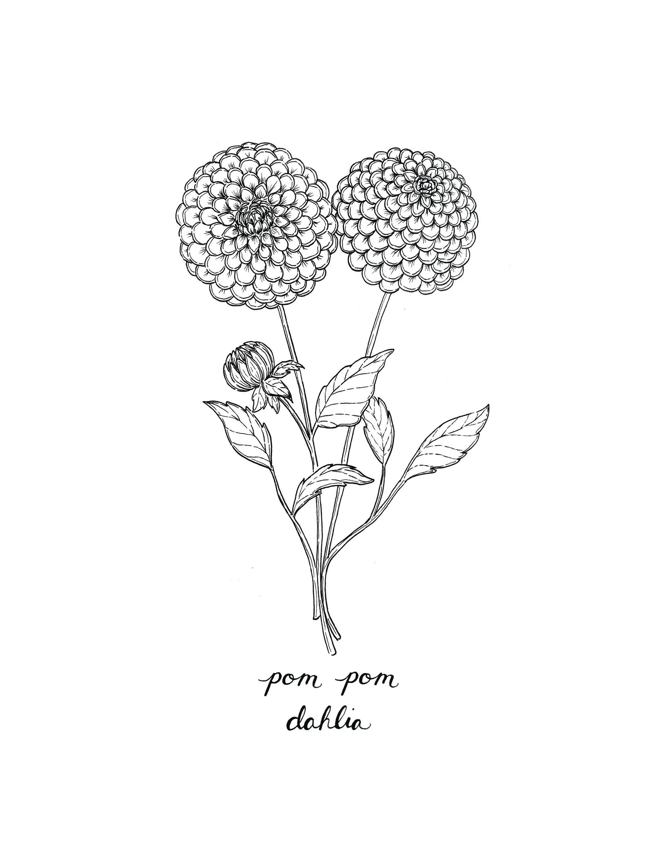 Pom Pom Drawing : drawing, Dahlia, Print