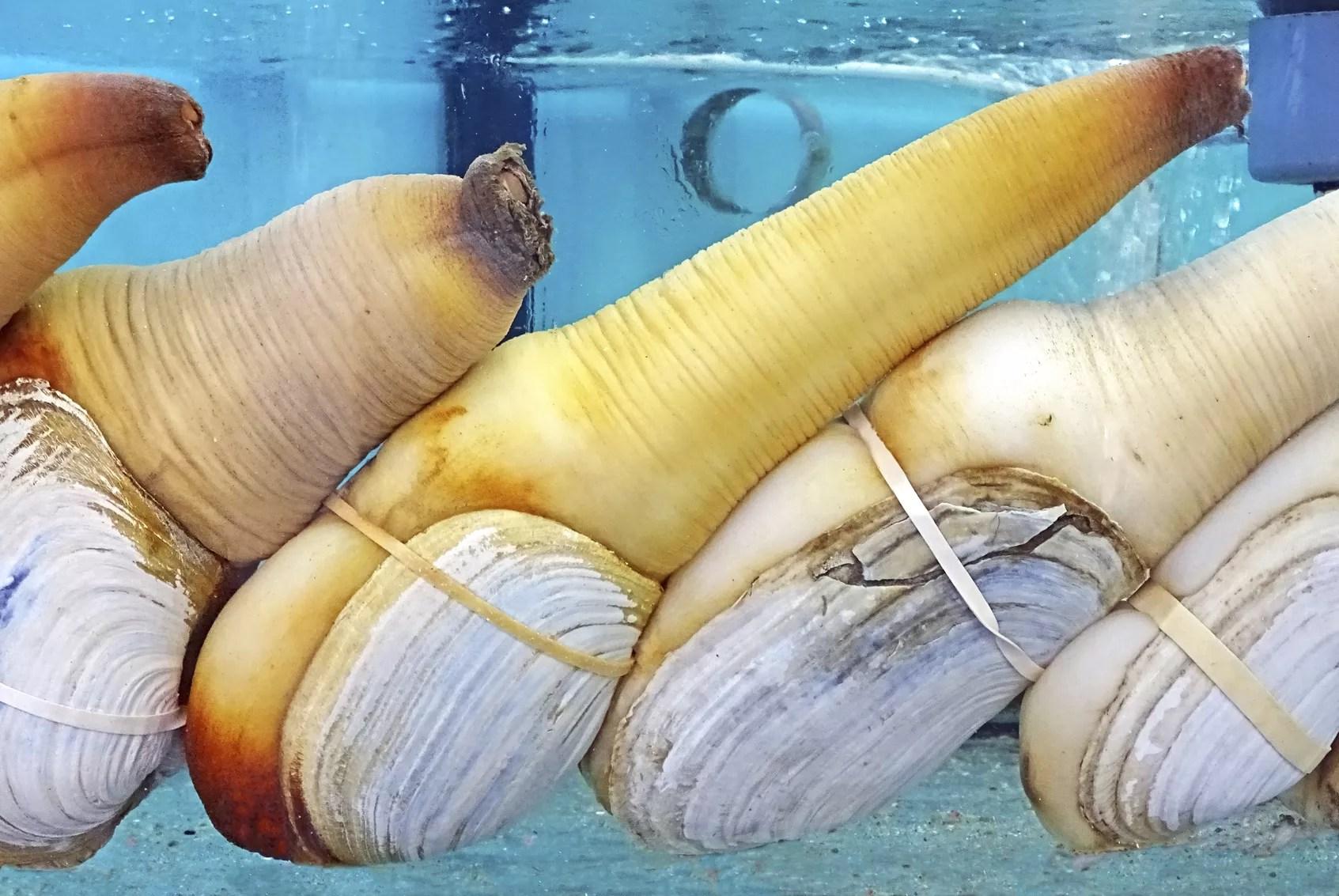 Le panope ltrange mollusque que les connaisseurs s