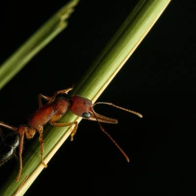 Indian Jumping Ants Can Shrink, Restore Their Brain, Study Finds