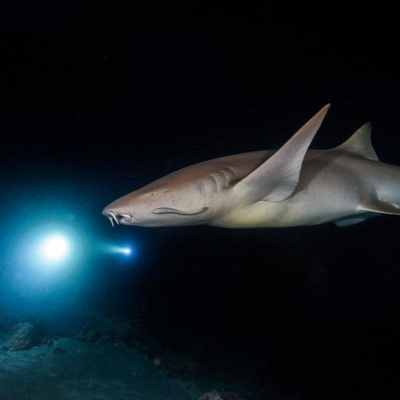 Sharks Use Earth's Magnetic Field Like GPS to Navigate Oceans