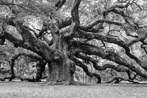 black-and-white-angel-oak-tree-louis-dallara