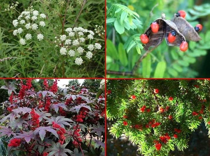 4zaOPA Dünyaca Ünlü En Zehirli 5 Tane Bitki Hangisi?