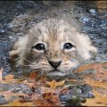 Baby lions at national zoo learn to swim photos