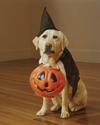 This Husky Dog Is Not Impressed With His Owners' Halloween ...
