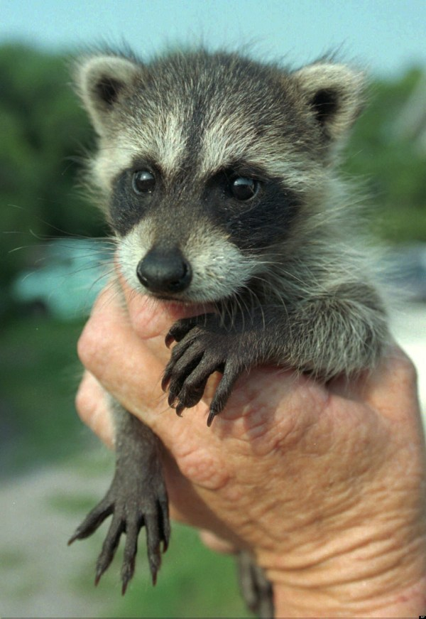 Baby Raccoon Stuck In Soup Freed Florida