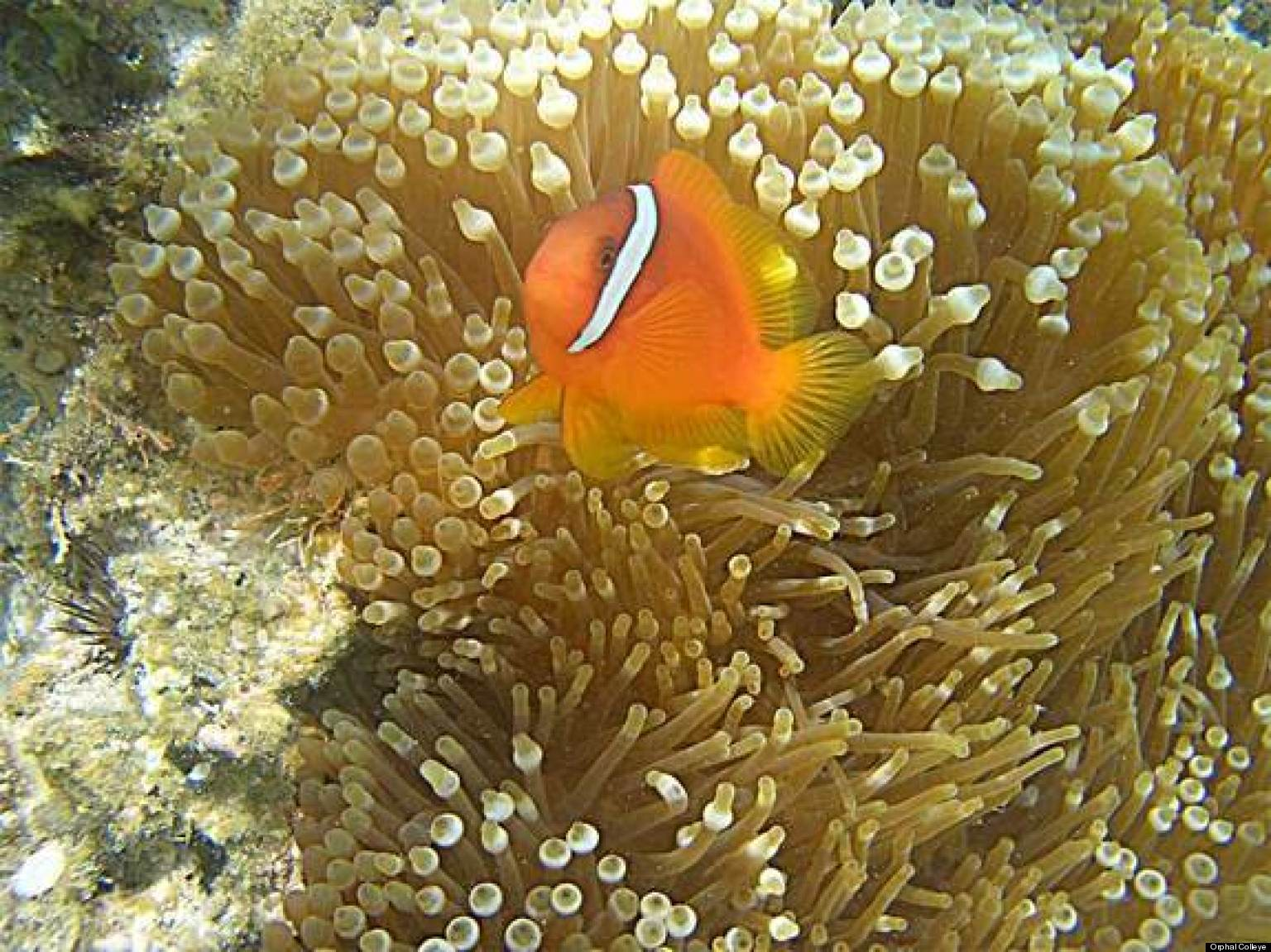 Clownfish Sea Anemone Relationship Fish Do Wiggle Dance To Help Out Host