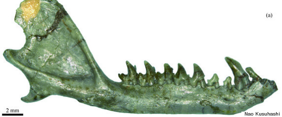 In 2007, scientists discovered a Eutherian mammal jaw that is about 112-million-years-old. The jaw shows that these primitive mammals had already started diversifying key characteristics at that time