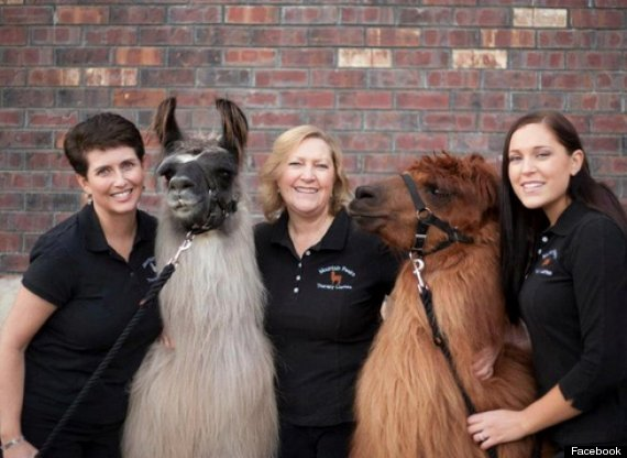 Rojo The Therapy Llama And Napoleon The Therapy Alpaca Spread Cheer In Portland PHOTOS VIDEO