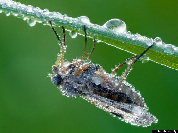 cicada grooming