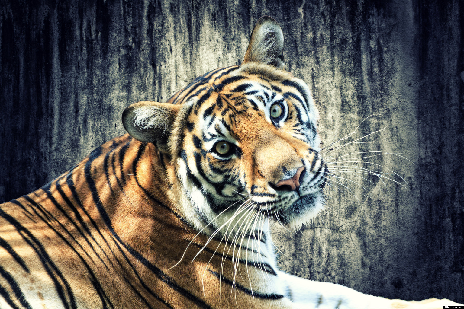 Cute Small Animals Wallpapers Indian Tigers Genetic Diversity Population Faces