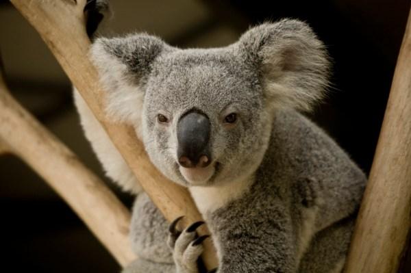 Cuddling Koala In Australia Huffpost