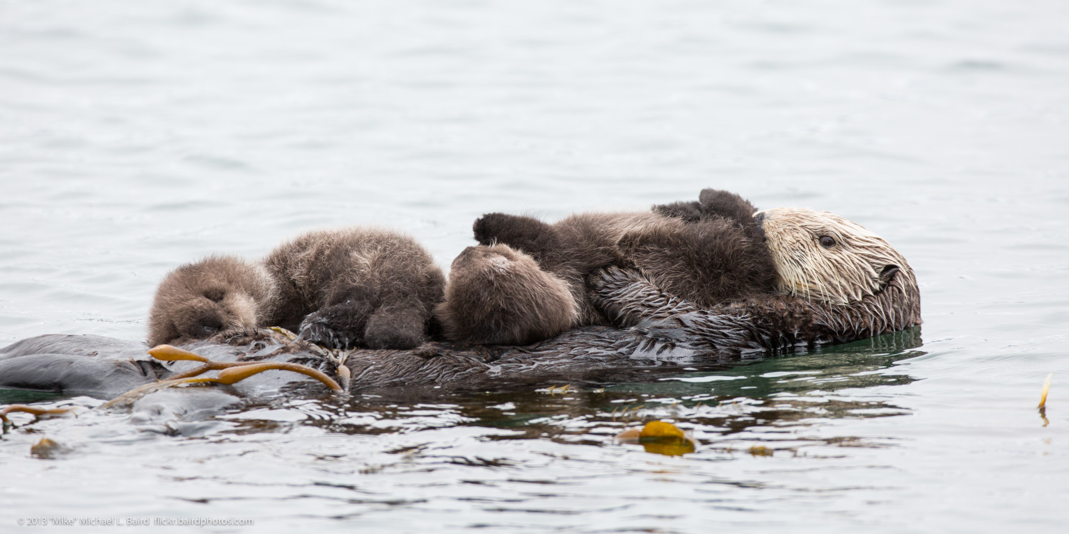Cute Otter Wallpaper Rare Sea Otter Twins Born In California But Only One May