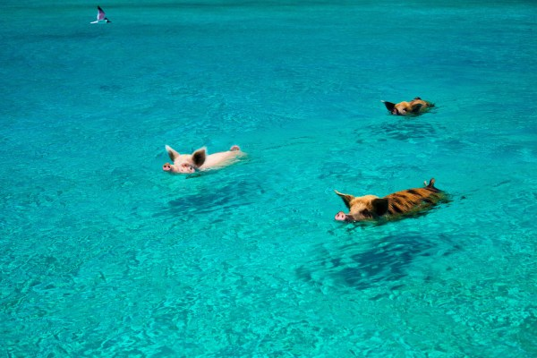 Pig Beach Bahamas Swimming Pigs Is A Thing On Island