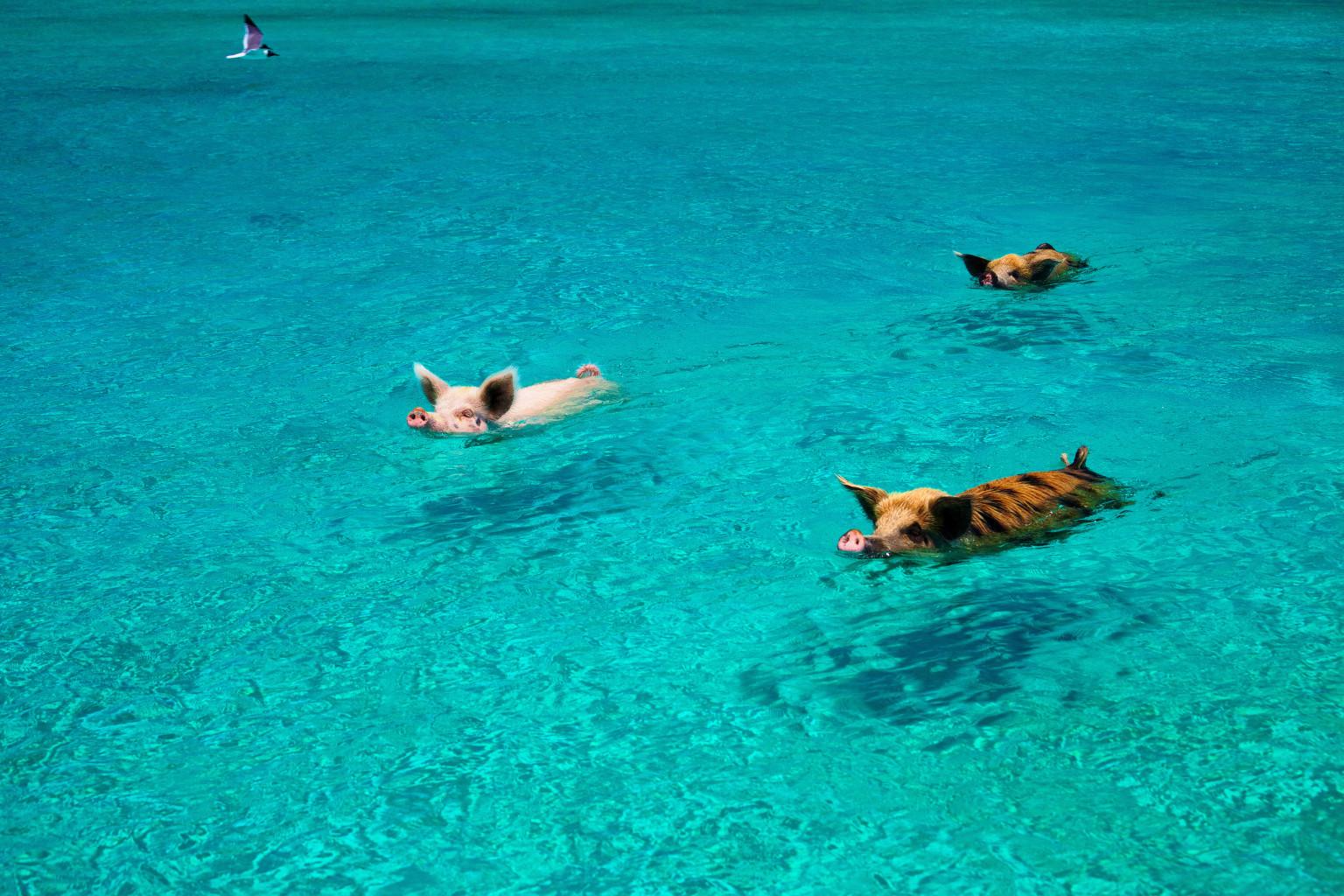 加勒比海 野生小豬和遊客海中暢游沙灘曬太陽 - 香港高登討論區