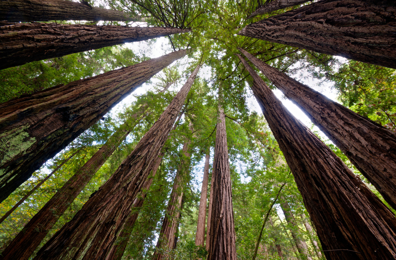 Image result for redwood tree