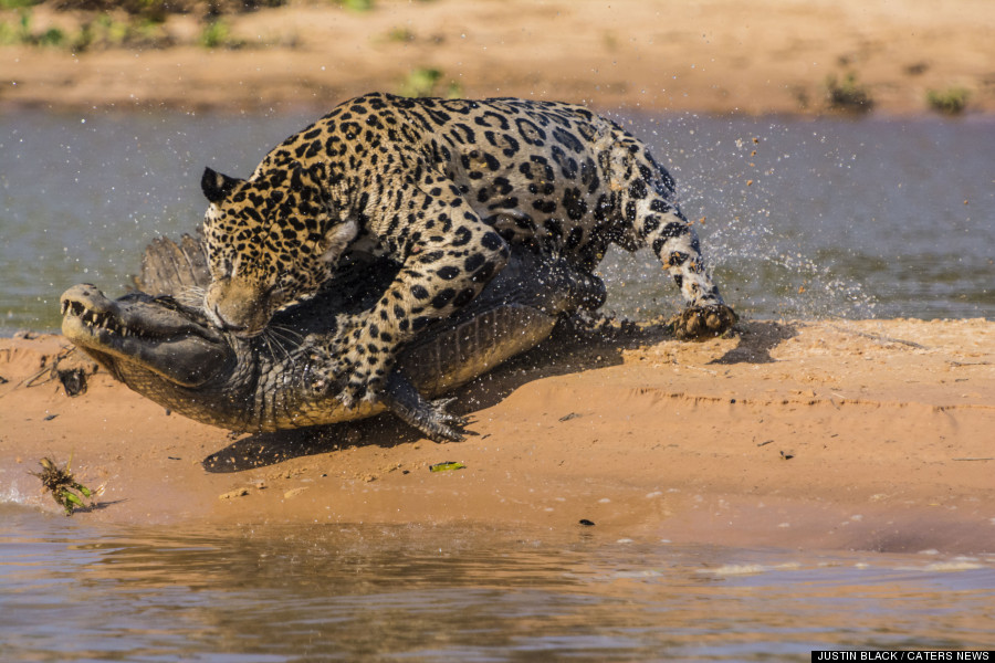 jaguar cayman