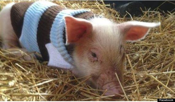 piglet slaughterhouse