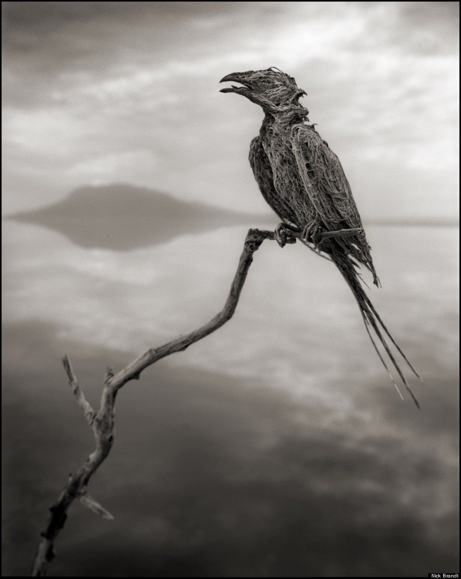 calcified songbird