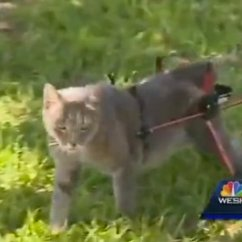 Wheelchair For Cats Preschool Tables And Chairs Clearance Owner Of Bound Cat Fined Not Using Leash