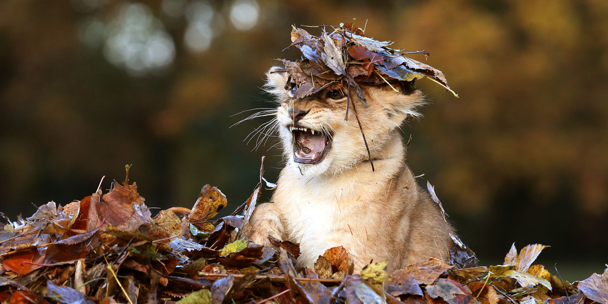 Fall Baby Animal Wallpaper Adorable Lion Cub Loves Playing In Autumn Leaves More Than