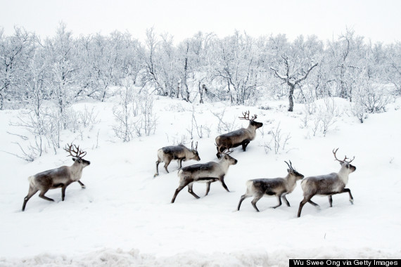 wild reindeer norway
